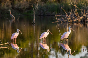 Roseate Spoonbills are back - Kostenloses image #423411