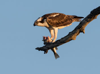 Osprey with Fish - image #424451 gratis