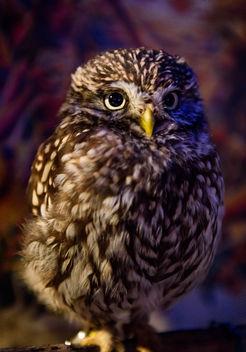 Owl - Free image #424701