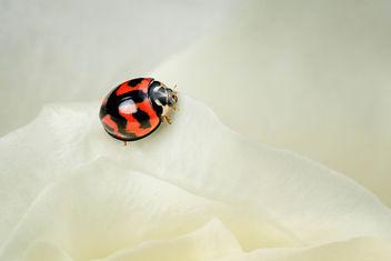 Ladybug - Kostenloses image #427401