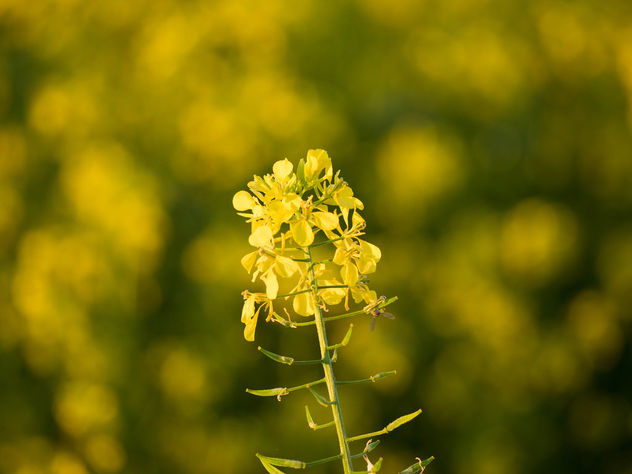 A small yellow flower - image #427861 gratis