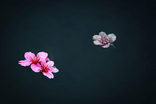 Cherry Blossoms Floating - image #427891 gratis
