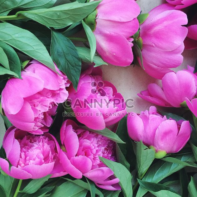 Beautiful pink peonies - Free image #136561