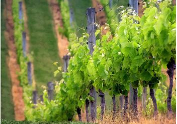 Vineyard Rows - Kostenloses vector #147491