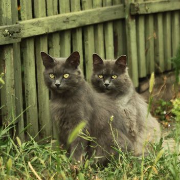 Two gray cats near wooden fence - бесплатный image #183751