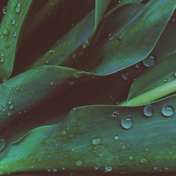 Tulip leaves - Free image #184421