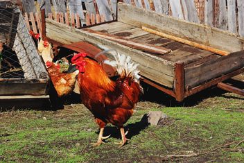 Rooster in village - image #185851 gratis