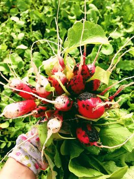 radishes from the garden - бесплатный image #185861