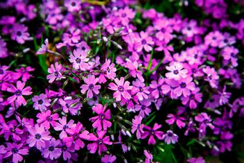 Small purple flowers in flowerbed - image #186161 gratis