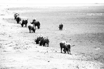 Buffaloes on pasture in countryside - Kostenloses image #186571