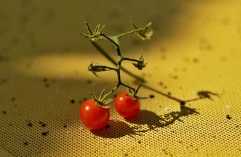Ripe cherry tomatoes - бесплатный image #186701
