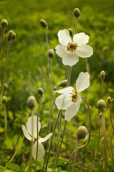 White flowers on field - Free image #186771