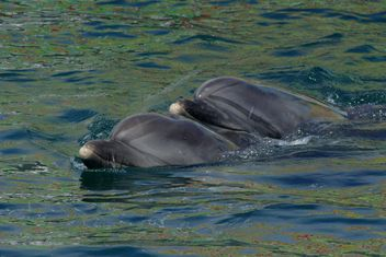 Dolphins in dolphinarium pool - бесплатный image #187771