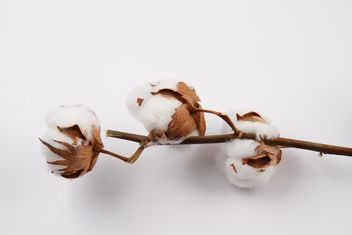 Cotton branch on white background - image #187791 gratis