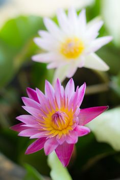 White and pink color lotus - бесплатный image #198061