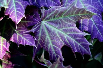 Purple maple leaves - image #198221 gratis