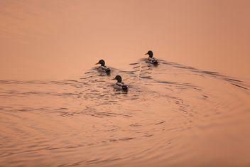 #morning #sunrise #ducks #birds #lake #reflection - Free image #198571