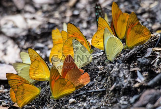 Yellow butterflies - Free image #199041