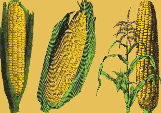 Engraved Corn Illustrations - Free vector #200551