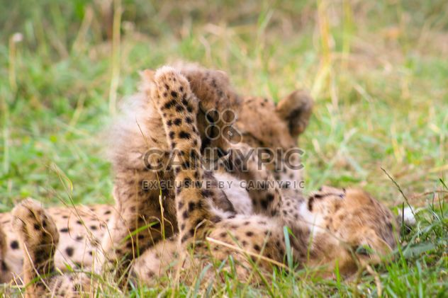 baby cheetah fight - image gratuit #200811