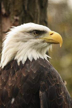 Portrait of a bald eagle - image #201471 gratis