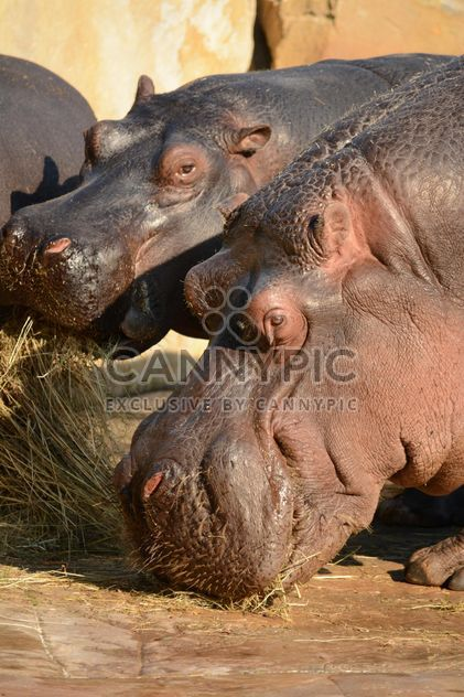 Hippos In The Zoo - image #201591 gratis