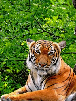 Tiger Close Up - image #201601 gratis