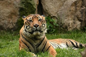 Tiger in the Zoo - Free image #201681