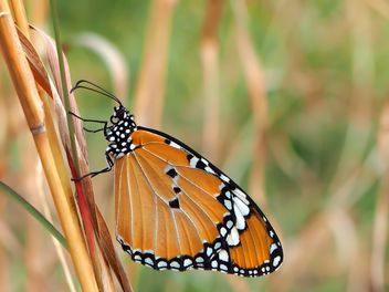 Tawny Coster Butterfly - Free image #201731