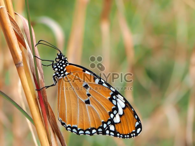 Tawny Coster Butterfly - image #201731 gratis