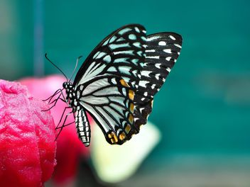 Butterfly close-up - image gratuit #225441