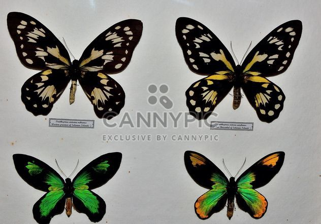 Collection of butterflies - Free image #229451
