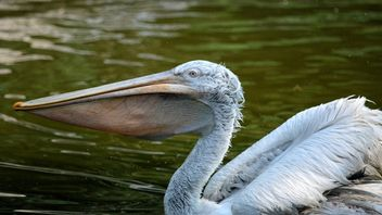 Pelican with full beak - image gratuit #229521