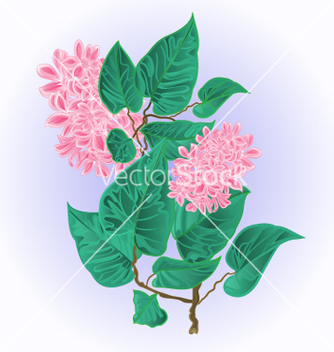 Free branch of lilac with flowers species syringa vector - vector gratuit #236251