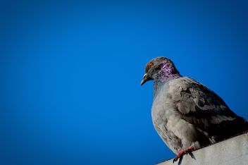 The dove against the perfect blue sky; 2 photos!!! - image gratuit #271821