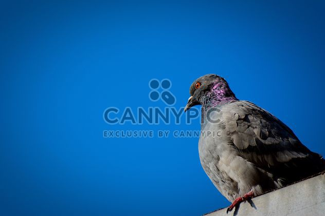 The dove against the perfect blue sky; 2 photos!!! - Free image #271821