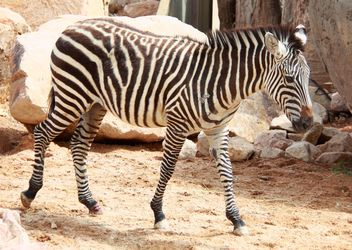 Zebra in the zoo - image #272001 gratis