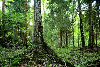 Old tree in forest - Kostenloses image #272511