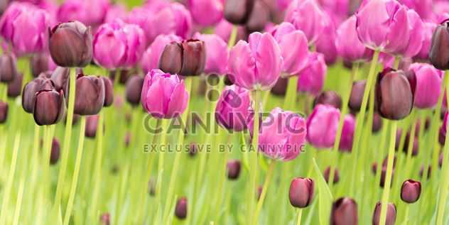 Pink and black tulips - image #272911 gratis