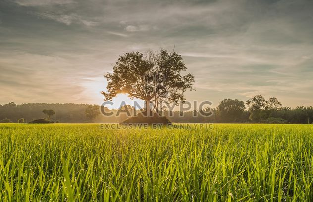 Rice fields - Free image #272951