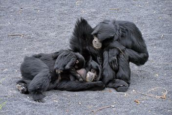 Family of gibbons - image #273011 gratis