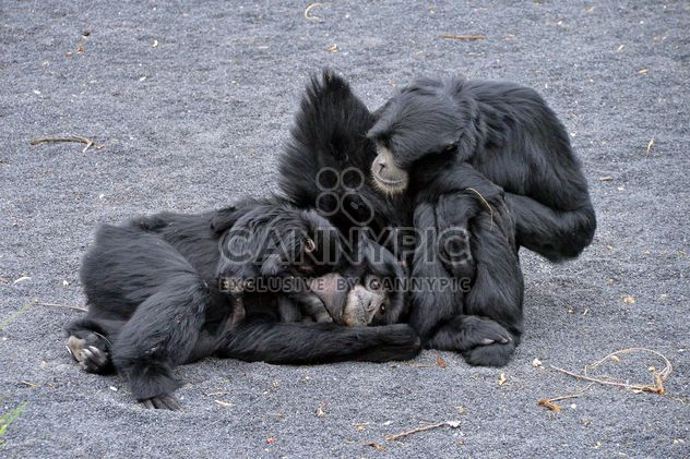 Family of gibbons - Free image #273011