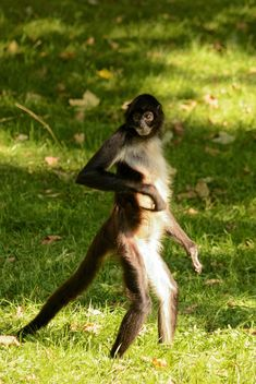 Monkey standing on a grass - image #273041 gratis