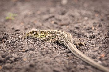 Sand lizard basking in the sun - Free image #273181