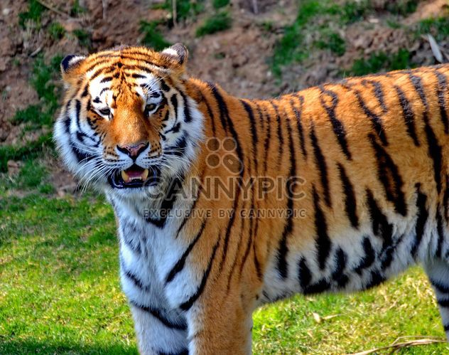 Tiger in Park - Free image #273641