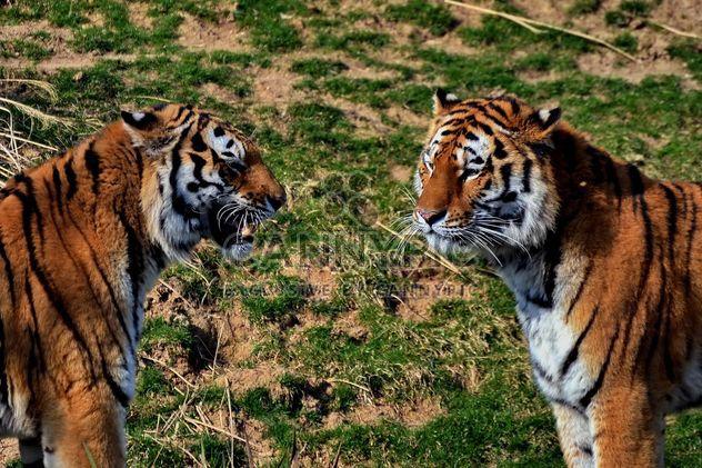 T l chargement gratuit d 39 image tigres dans le parc - Images tigres gratuites ...