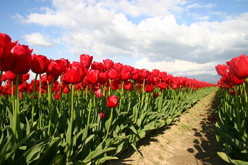 Parting The Red Sea of Tulips - image gratuit #276091