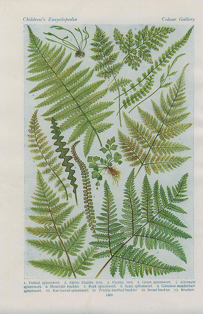 british ferns2 - Free image #276401