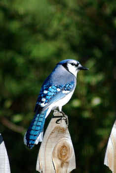 Bluejay - Kostenloses image #277021