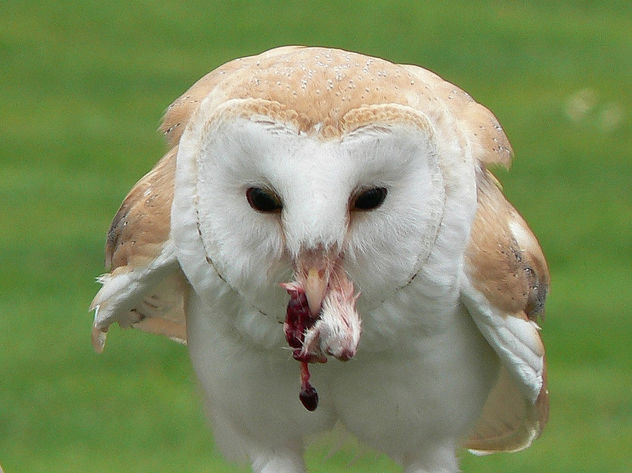 Common barn owl with tasty dinner - бесплатный image #277371